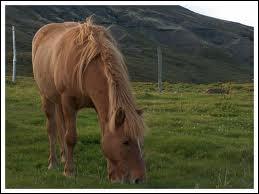 Qu'est-ce que l'équitation islandaise ?