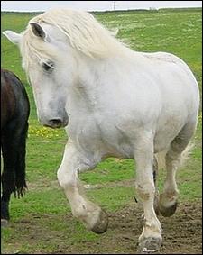 Le percheron est un cheval de trait .