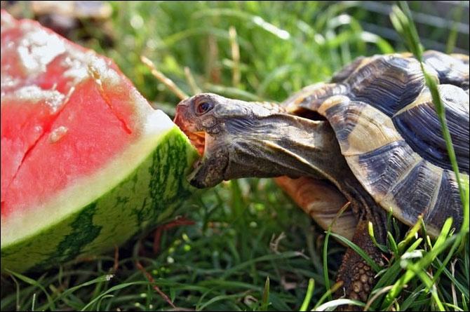 La tortue, qu'elle soit terrestre ou marine, est exclusivement végétarienne !