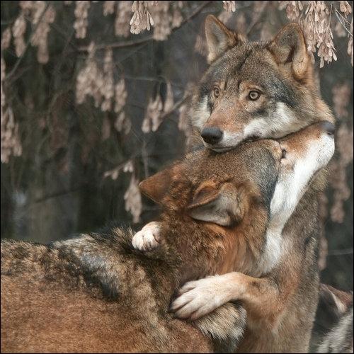 La chanson  Coeur de loup  est interprétée par Philippe Lafontaine !