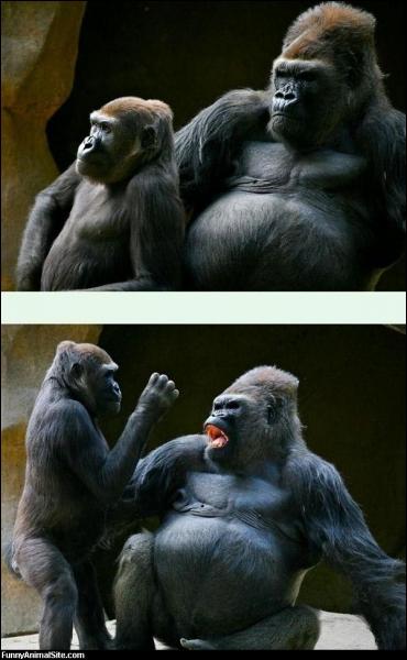 Le gorille est un animal qui nous est devenu très sympathique, et à juste raison, mais il a un gros défaut, le fait d'être surtout végétarien l'incite à envoyer des gaz très virulents !