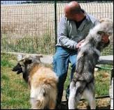 Les éleveurs de chiens ...