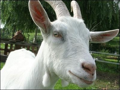 Comment dit-on la  chèvre  ?