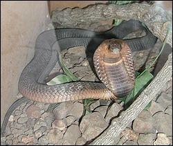 Quel est l'autre nom du cobra ?