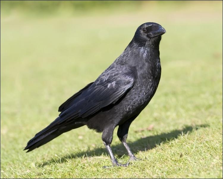 Comment traduisez-vous un  corbeau  en anglais ?