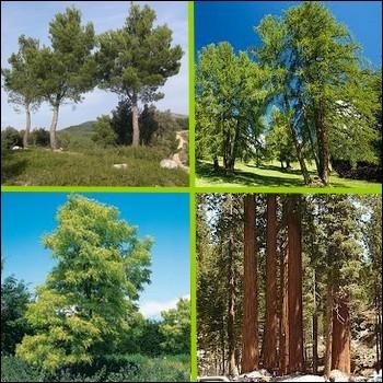 Lequel de ces arbres n'est pas à classer parmi les résineux ?