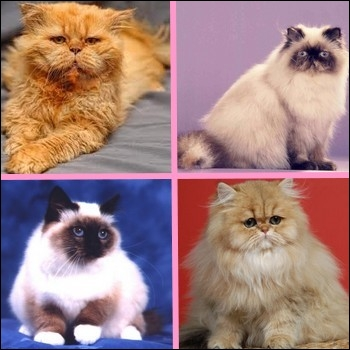Un de ces chats n'est pas de race Persan. Lequel ?