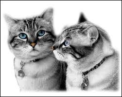 Oh ! Comme c'est mignon ! Un petit couple ! Ils vont faire des enfants à mon avis ! Oh ... ils ont les yeux bleus ! Normalement entre 60% et 80% des chats aux yeux bleus sont ...