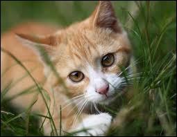 Un petit chat très naturel ! Il est dans l'herbe ! Mais il a l'air un peu maigre ! Quel est le poids d'un chat en moyenne ? Aidez-moi, s'il vous plaît !