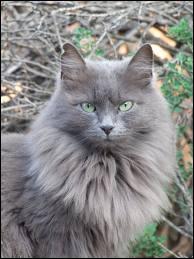 Mon chat lui ressemble tellement ! Il ressemble au chat le plus gros et le plus grand du monde ! Comment s'appelle ce chat ?