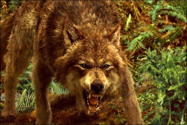 Comment s'appelle le loup-garou principal ?