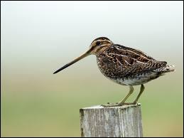 Quizz les grands oiseaux et les chassiers quiz oiseaux for Oiseau a long bec