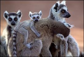 Quelle est cette espèce de primates ?