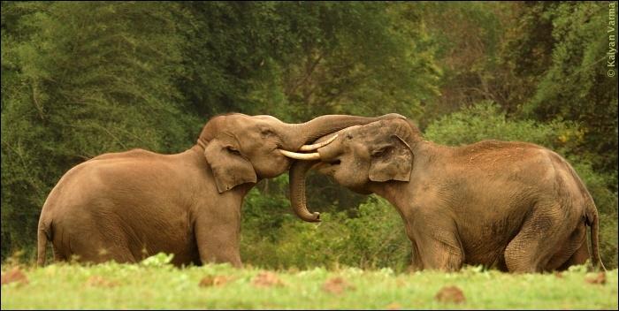 En dehors du crâne et des oreilles, quel autre critère vous permettra de différencier un éléphant d'Asie (photo) d'un éléphant d'Afrique ?
