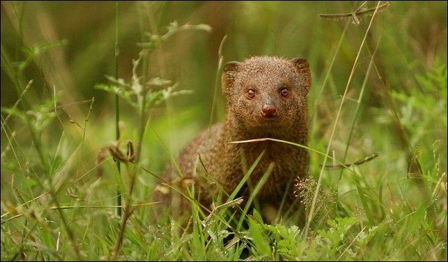 Cet animal, réputé tueur de serpents, porte un nom qui est également le nom ...