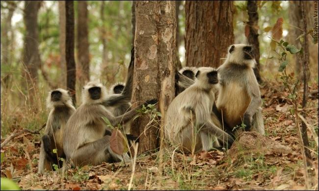Dans lequel de ces trois régions du monde pouvez-vous voir un singe langur ?