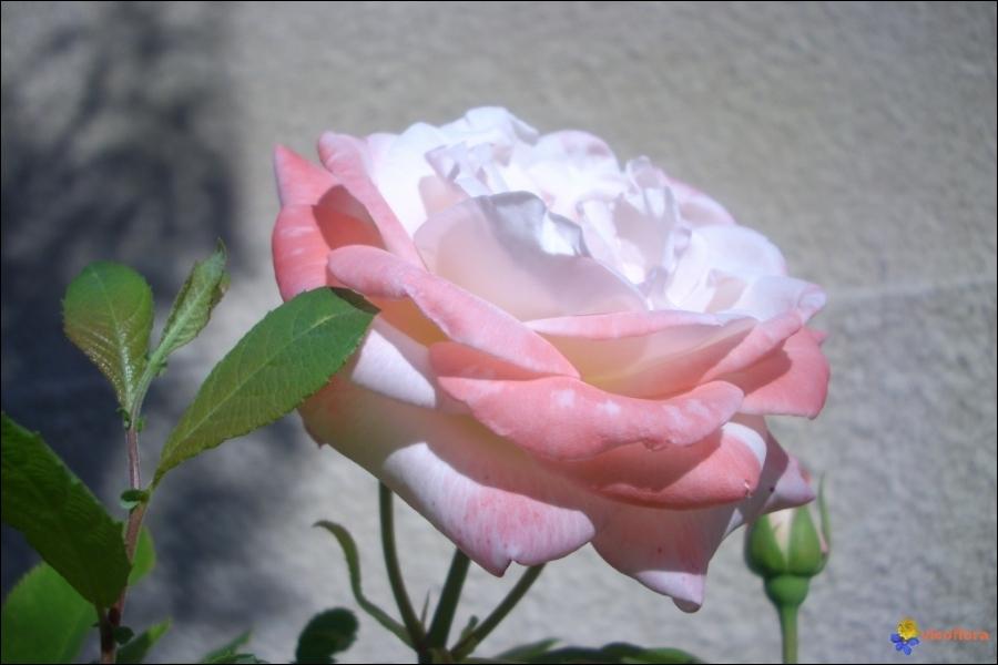 Petite dictée quotidienne pour les fidèles.  Non (... ) la rose nouvelle se détourne de moi, Mais (... ), dans ce désert, l'épine arrache mes vêtements .