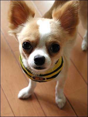 Quel est le chien le plus petit au monde ?