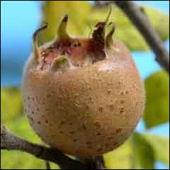 Ce fruit un peu oublié, qui se consomme blet ou cuit, porte un nom qui est l'anagramme d'un synonyme de :