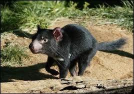 Le plus gros marsupial, de la taille d'un petit chien, carnivore et encore vivant, se nourrit de charogne et ne se trouve plus aujourd'hui qu'en Tasmanie. Il s'agit du …