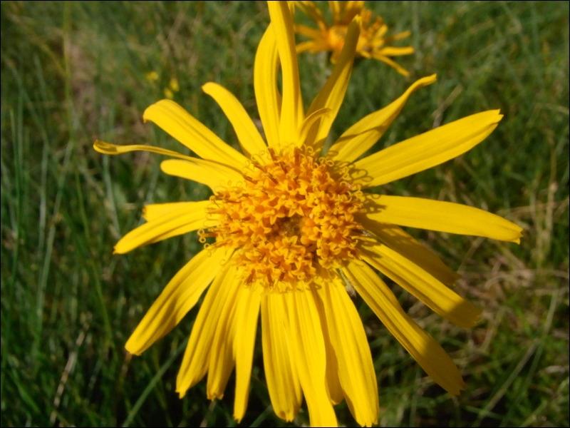 Cette fleur est utilisée contre les hématomes, les ecchymoses et autres traumatismes de ce genre, la reconnaissez-vous ?