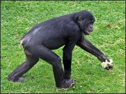 On l'appelle aussi chimpanzé pygmée, nain ou gracile. Par rapport au chimpanzé commun, il présente une face plus foncée et de plus longues jambes. C'est le ….