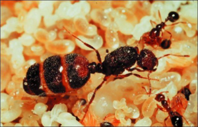 Quelle espèce de fourmis est-ce ?