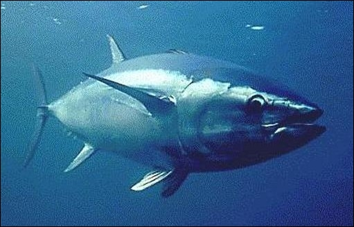 Quel sale temps pour ce poisson marin, à force de taper dans les stocks, il ne sera bientôt plus qu'un souvenir !
