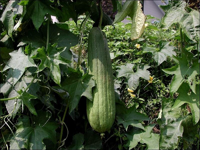 Quel est ce fruit consommé comme légume de la famille des Cucurbitaceae ?