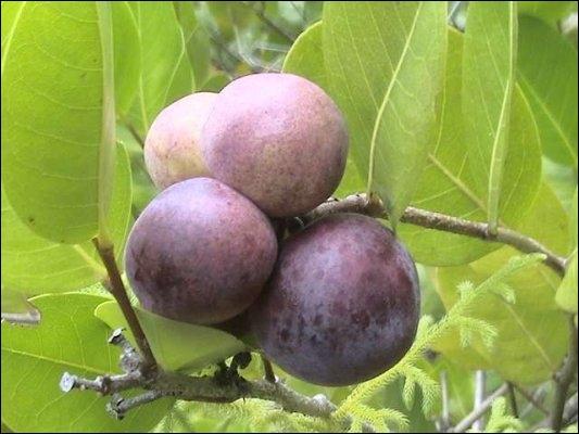 Comment s'appelle ce fruit des Antilles ?