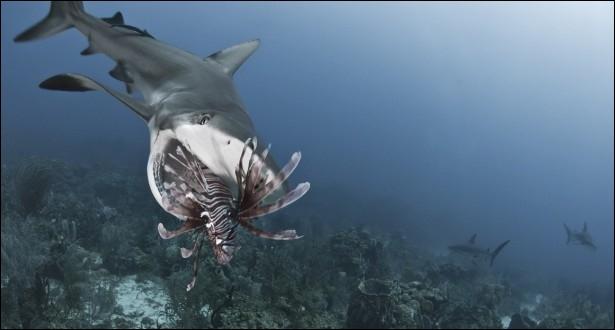 Que vient d'attraper le requin ?