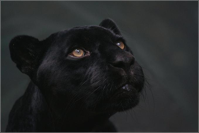 La panthère noire est une espèce différente de ce que l'on appelle panthère ou léopard !