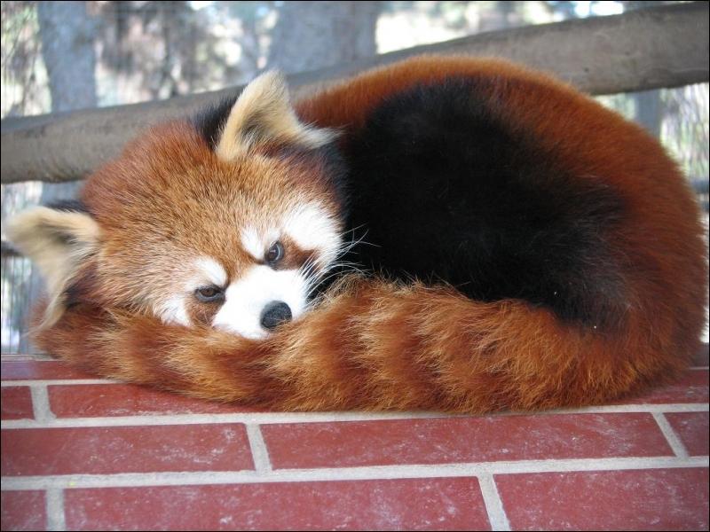 On trouve le petit panda ou panda roux ...
