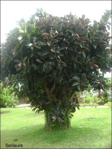 C'est le nom qu'on donne à une plante qui possède un tronc et qui fait moins de 8 m de haut. Quelle lettre faut-il y ajouter pour pouvoir écrire le nom de la capitale de la Roumanie ?