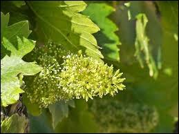 Les fruits qui après ces fleurs apparaîtront aident à la circulation du sang, ce sont...