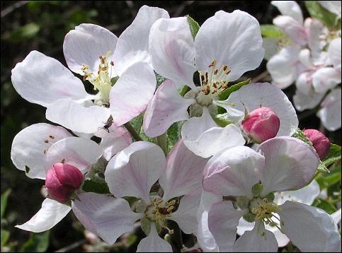 Les fruits qui viendront après ces belles fleurs fabriquent des défenses naturelles, mangez donc ...