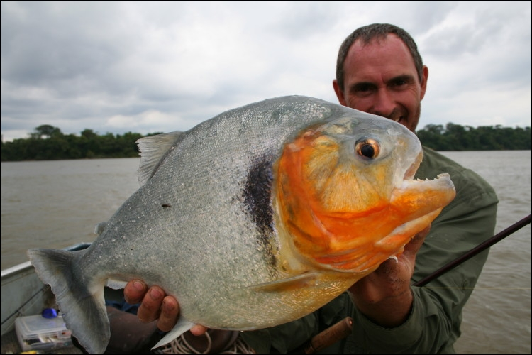 Un petit aperçu des poissons amazoniens, celui-ci est loin d'être le plus gros, mais sa réputation a dépassé les frontières de son habitat !
