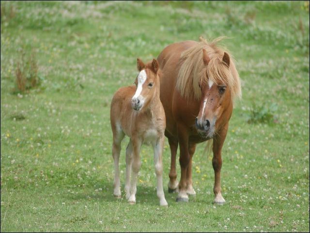 Comment s'appelle le petit d'un cheval ? (Le mâle)