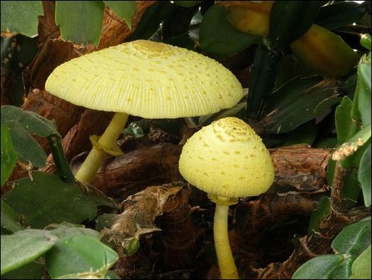 Comment se nomme ce champignon ?