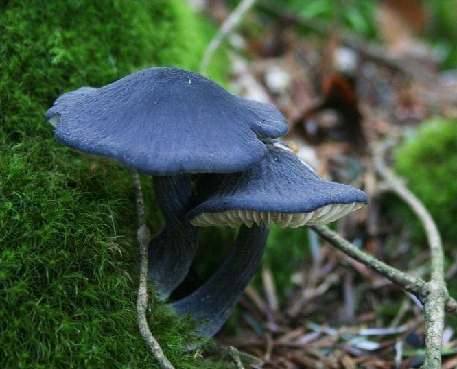Variétés de champignons