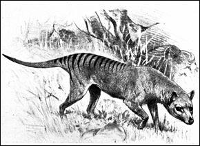 Depuis 1936, le thylacine est une espèce considérée comme éteinte. Cette espèce de loup porte d'autres noms. Lesquels ?