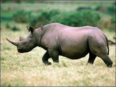 Parmi ces rhinocéros, lesquels sont menacés d'extinction ?