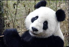 Environ combien de pandas géants vivraient à l'état sauvage actuellement ?