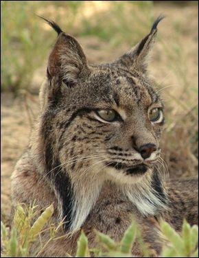 Parmi ces animaux, lesquels sont en danger critique d'extinction, dernier niveau avant de reconnaître l'espèce éteinte ?