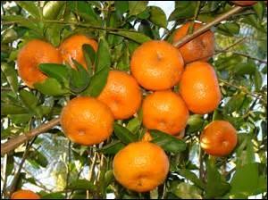 Il s'agit d'un nom américain pour désigner des fruits qui transitaient principalement par le port de Tanger, au Maroc :