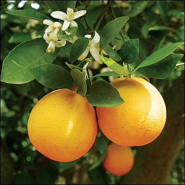 Vous avez pris des forces. Vous pourrez répondre facilement à cette question. Combien y a-t-il de familles d'oranges ?