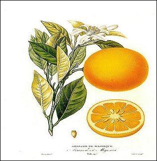 Par qui les oranges douces furent-elles rapportées au XVIe siècle, en Europe ? D'où venaient-elles ?
