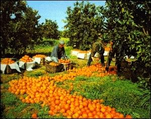 Combien existe-t-il de variétés d'oranges en culture dans le monde ?