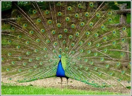 Le paon bleu qui est l'oiseau national de l'Inde peut-il voler ?