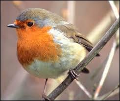 Seul le rouge-gorge mâle a une tache rouge à la gorge et à la poitrine.